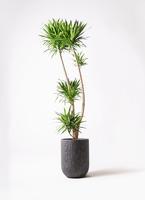 観葉植物 ドラセナ ナビー 10号 カルディナトールダークグレイ 付き