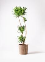 観葉植物 ドラセナ ナビー 10号 ウッドプランター 付き