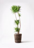 観葉植物 ドラセナ ナビー 10号 モンデリック ラタン 付き