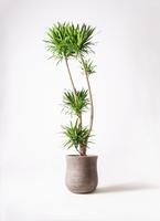観葉植物 ドラセナ ナビー 10号 アローナラウンド ベージュ 付き