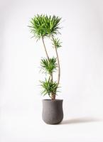 観葉植物 ドラセナ ナビー 10号 アローナラウンド グレイ 付き