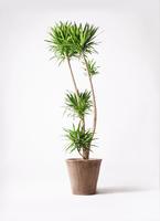 観葉植物 ドラセナ ナビー 10号 ルーガ アンティコ ソリッド 付き