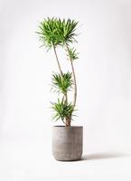 観葉植物 ドラセナ ナビー 10号 エルバ 白 付き