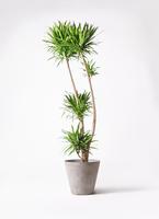 観葉植物 ドラセナ ナビー 10号 アートストーン ラウンド グレー 付き