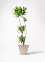 観葉植物 ドラセナ ナビー 10号 パウダーストーン 白 付き