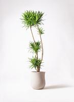 観葉植物 ドラセナ ナビー 10号 アローナラウンド 白 付き