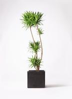 観葉植物 ドラセナ ナビー 10号 ファイバークレイ 付き