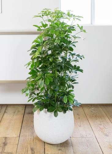 観葉植物 カポック(シェフレラ) 8号 エコストーンwhite 付き