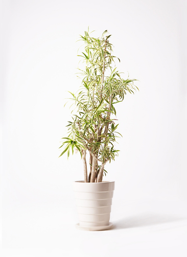 観葉植物 ドラセナ ソング オブ インディア 10号 サバトリア 白 付き