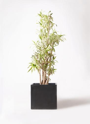 観葉植物 ドラセナ ソング オブ インディア 10号 ファイバークレイ 付き