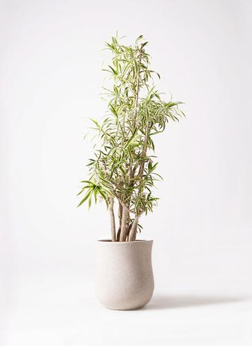 観葉植物 ドラセナ ソング オブ インディア 10号 アローナラウンド 白 付き