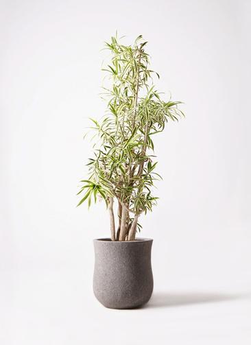 観葉植物 ドラセナ ソング オブ インディア 10号 アローナラウンド グレイ 付き