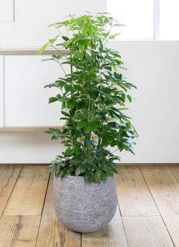観葉植物 カポック(シェフレラ) 8号 ノーマル エコストーンGray 付き