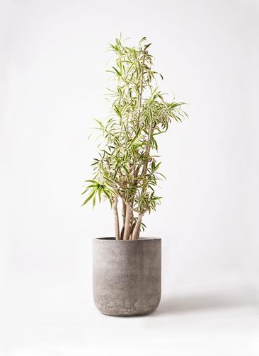 観葉植物 ドラセナ ソング オブ インディア 10号 エルバ 白 付き