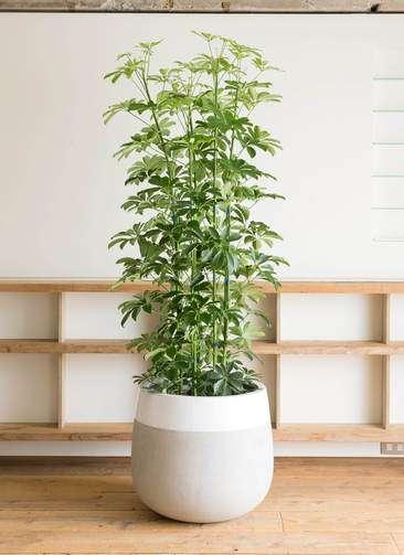 観葉植物 カポック(シェフレラ) 10号 ノーマル ファイバーストーン タウルス ミドル 白 付き