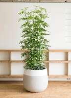 観葉植物 カポック(シェフレラ) 10号 ファイバーストーン タウルス ミドル 白 付き