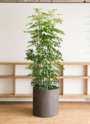 観葉植物 カポック(シェフレラ) 10号 アルファシリンダープランター 付き