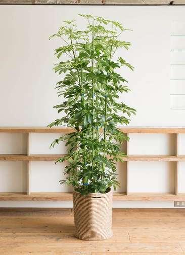 観葉植物 カポック(シェフレラ) 10号 リブバスケットNatural 付き