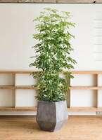 観葉植物 カポック(シェフレラ) 10号 ノーマル ファイバークレイGray 付き