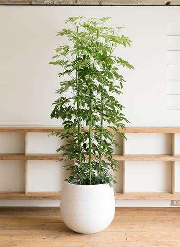 観葉植物 カポック(シェフレラ) 10号 エコストーンwhite 付き