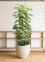 観葉植物 カポック(シェフレラ) 10号 エコストーンLight Gray 付き