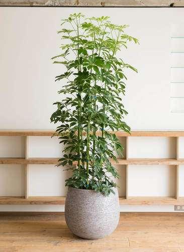 観葉植物 カポック(シェフレラ) 10号 エコストーンGray 付き