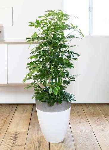観葉植物 カポック(シェフレラ) 8号 ノーマル ファイバーストーン カプリ 白 付き