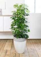 観葉植物 カポック(シェフレラ) 8号 ノーマル ファイバーストーン カプリ サンディホワイト 付き