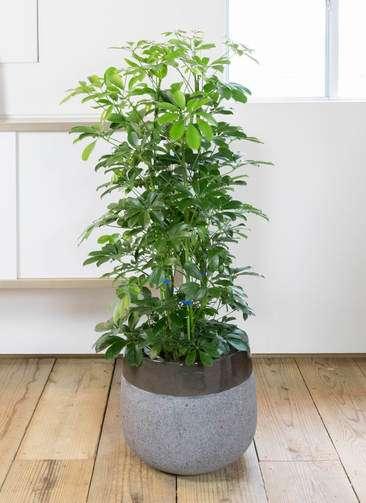 観葉植物 カポック(シェフレラ) 8号 ノーマル ファイバーストーン タウルス ミドル 黒 付き