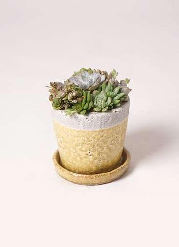 多肉植物 寄せ植え クレーパー 4号 受け皿付き 黄