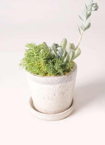 多肉植物 寄せ植え クレーパー 4号 受け皿付き 白