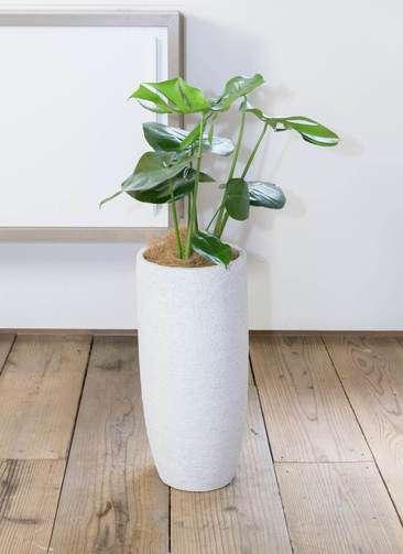 観葉植物 モンステラ 6号 エコストーントールタイプ white 付き
