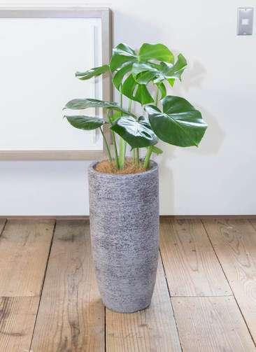 観葉植物 モンステラ 6号 エコストーントールタイプ Gray 付き
