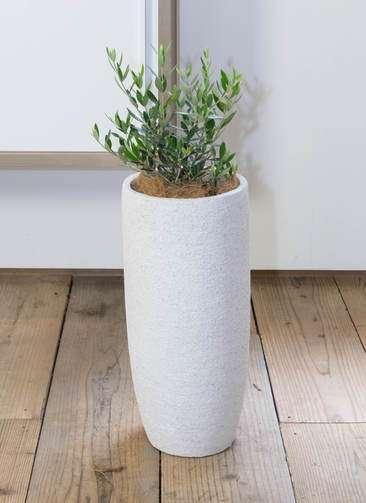 観葉植物 オリーブ コロネイキ6号 エコストーントールタイプ white 付き