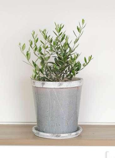 観葉植物 オリーブ 6号 コロネイキ アンティークテラコッタGray 付き