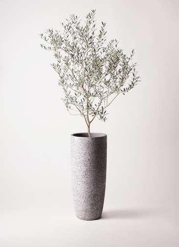 観葉植物 オリーブの木 8号 カヨンヌ エコストーントールタイプ Gray 付き