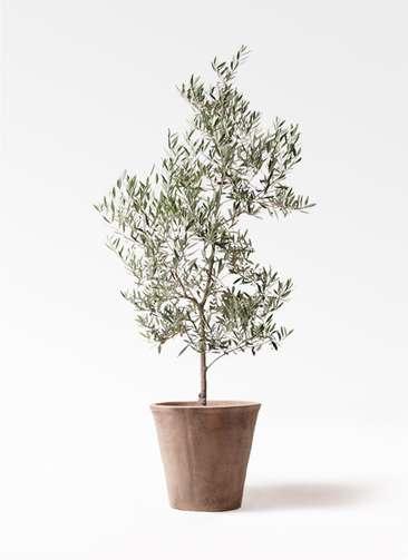 観葉植物 オリーブ 10号 ピクアル ルーガ アンティコ ソリッド 付き
