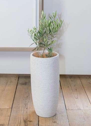観葉植物 オリーブ チプレッシーノ 6号 エコストーントールタイプ white 付き