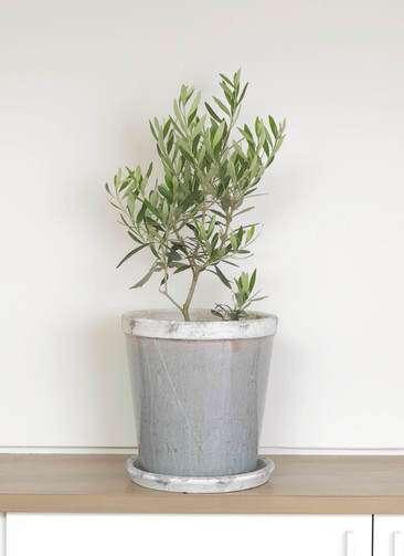 観葉植物 オリーブ 6号 チプレッシーノ アンティークテラコッタGray 付き