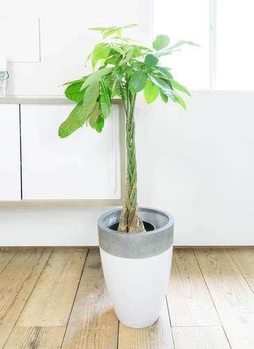 観葉植物 パキラ 8号 ファイバーストーンカプリ 白 付き