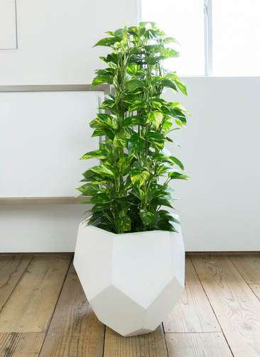 観葉植物 ポトス 8号 ポリゴヘクサ 白 付き