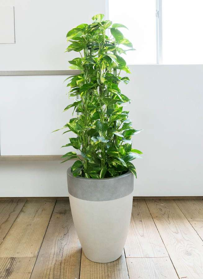 観葉植物 ポトス 8号 ファイバーストーンカプリ サンディホワイト 付き