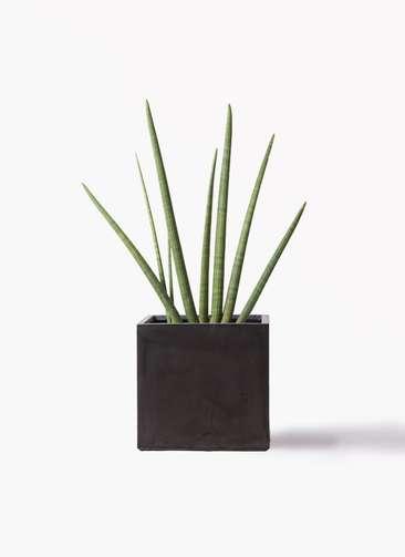 観葉植物 サンスベリア スタッキー 10号 ファイバークレイ 付き