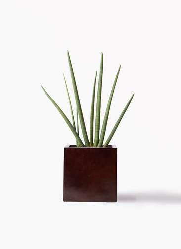 観葉植物 サンスベリア スタッキー 10号 MOKU キューブ 付き