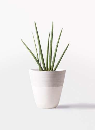 観葉植物 サンスベリア スタッキー 10号 ジュピター 白 付き