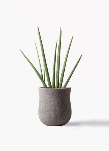 観葉植物 サンスベリア スタッキー 10号 アローナラウンド グレイ 付き