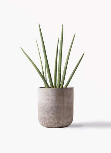 観葉植物 サンスベリア スタッキー 10号 エルバ 白 付き