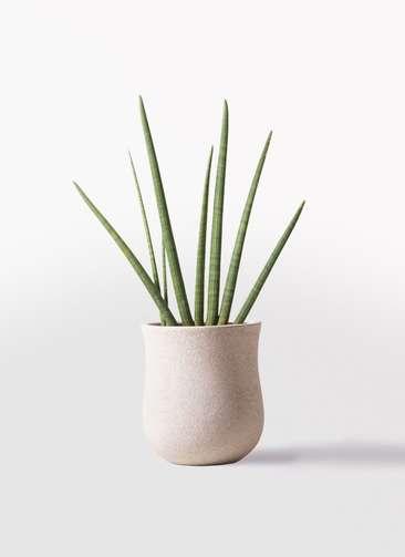 観葉植物 サンスベリア スタッキー 10号 アローナラウンド 白 付き