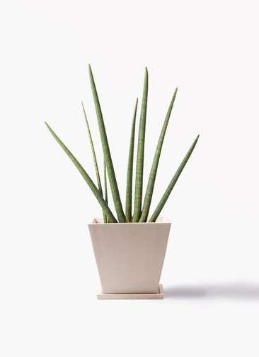 観葉植物 サンスベリア スタッキー 10号 パウダーストーン 白 付き