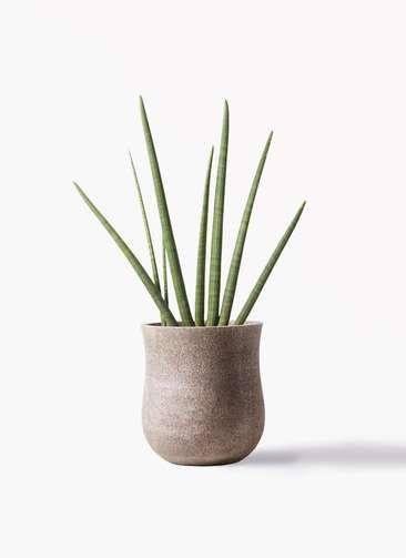 観葉植物 サンスベリア スタッキー 10号 アローナラウンド ベージュ 付き